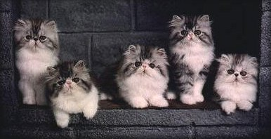 Silver Spotted & White Persian kittens at 12 weeks of age